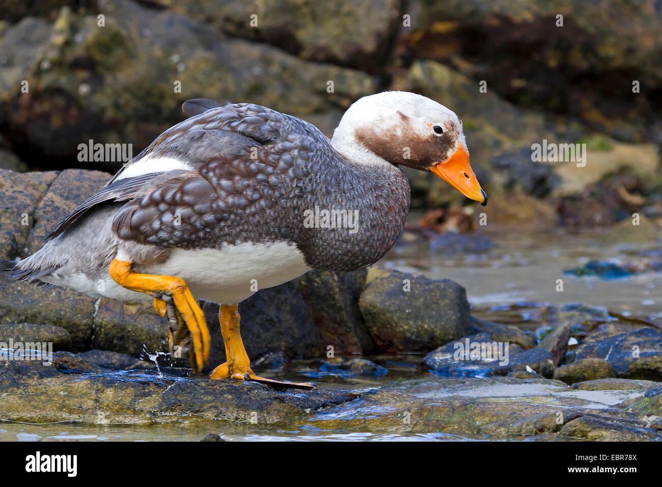 Flightless steamer duck (Tachyeres brachypterus), male at the coast, Antarctica, Falkland Islands, Carcass Island, - Stock Image