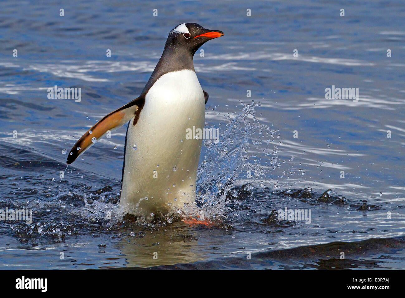 gentoo penguin (Pygoscelis papua), leaving the sea, Antarctica, Falkland Inseln, Sounders Island - Stock Image
