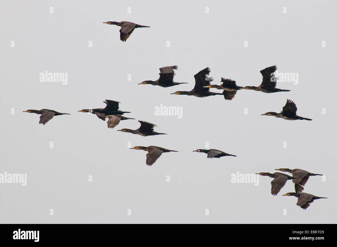 great cormorant (Phalacrocorax carbo), cormorants in flight, Germany, Lower Saxony, Spiekeroog - Stock Image