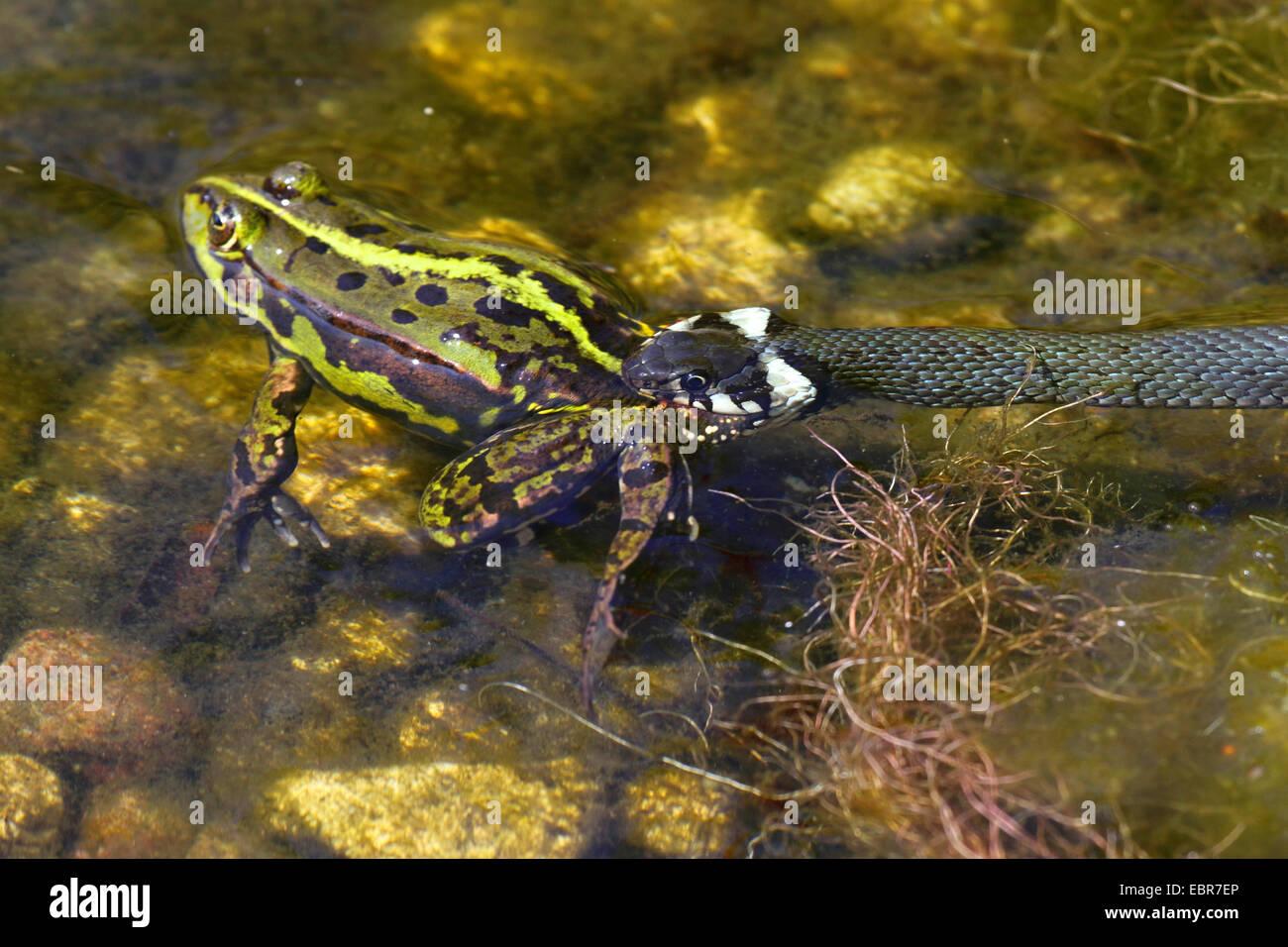 grass snake (Natrix natrix), has caught a frog European edible frog, common edible frog, Germany, Mecklenburg-Western - Stock Image