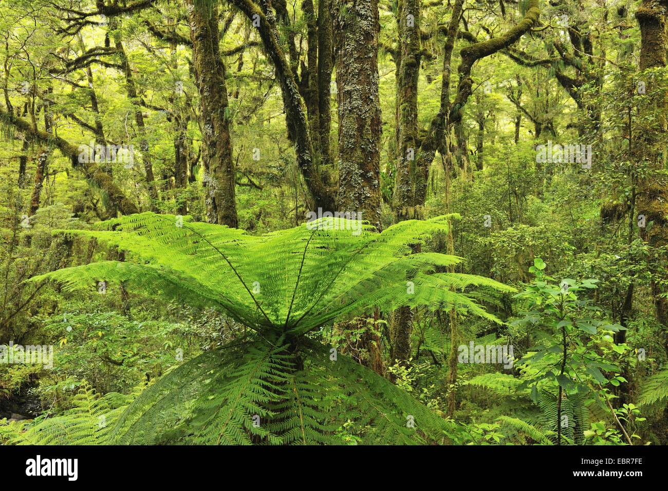 Tree Fern in Temperate Rain Forest, New Zealand, Southern Island, Fjordland National Park, Milford Sound - Stock Image