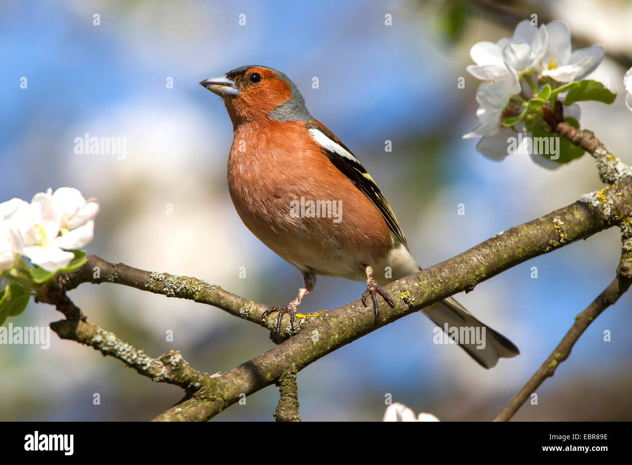 chaffinch (Fringilla coelebs), male on a blooming branch, Germany - Stock Image