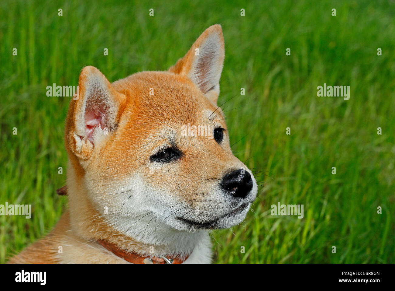 Shiba Inu (Canis lupus f. familiaris), ten week old puppy, Germany - Stock Image
