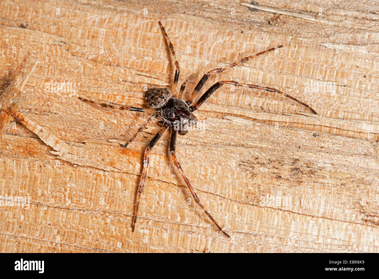 Crevice spider, Walnut Orb-Weaver Spider, walnut orb weaver spider, Walnut Orb Weaver (Araneus umbraticus, Nuctenea - Stock Image