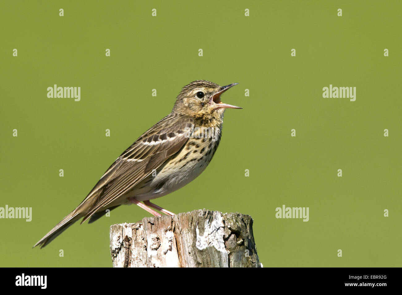 Tree pitpit (Anthus trivialis), sings on a wooden post, Austria, Neusiedler See National Park - Stock Image