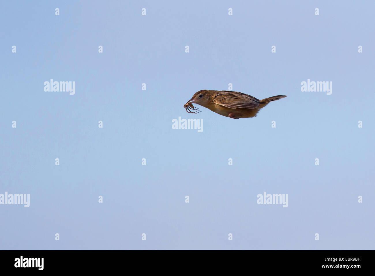 zitting cisticola (Cisticola juncidis), in flight with prey in the bill - Stock Image