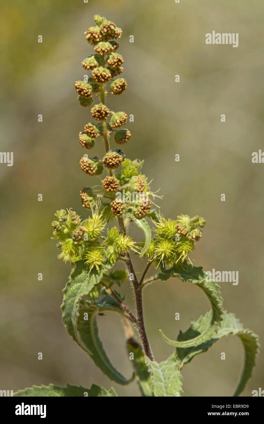 burweed, ragweed (Ambrosia spec.), USA, Arizona Stock Photo