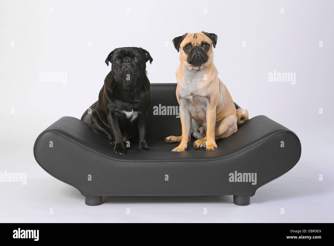 Pug (Canis lupus f. familiaris), two pugs sitting side by side on a noble dog sofa Stock Photo