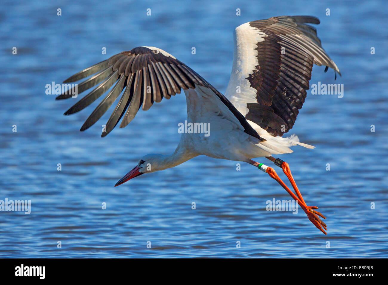 white stork (Ciconia ciconia), starting, Germany, Bavaria, Lake Chiemsee - Stock Image
