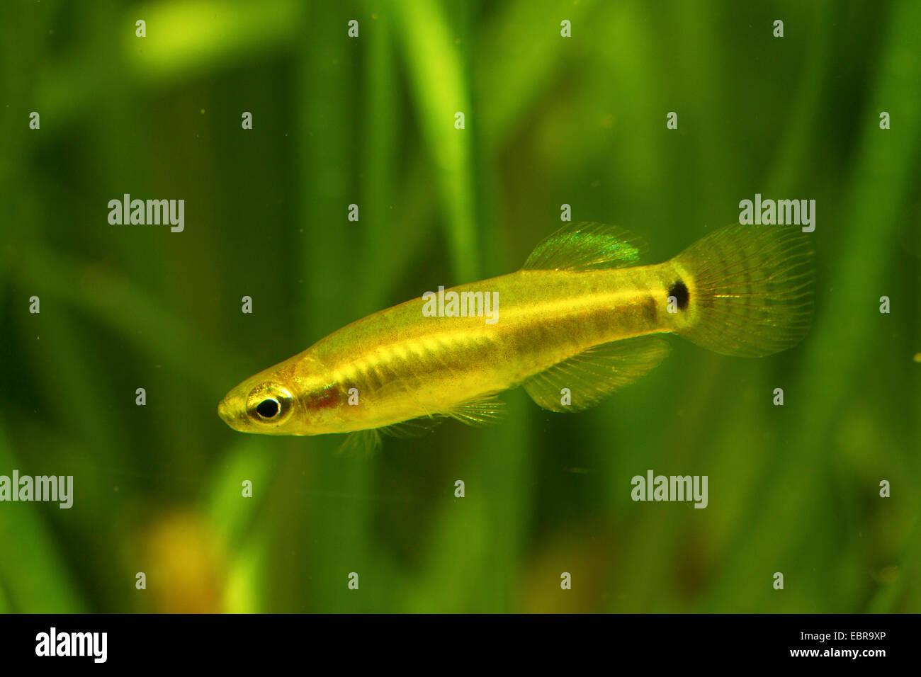 Pygmy Killifish (Leptolucania ommata), male - Stock Image