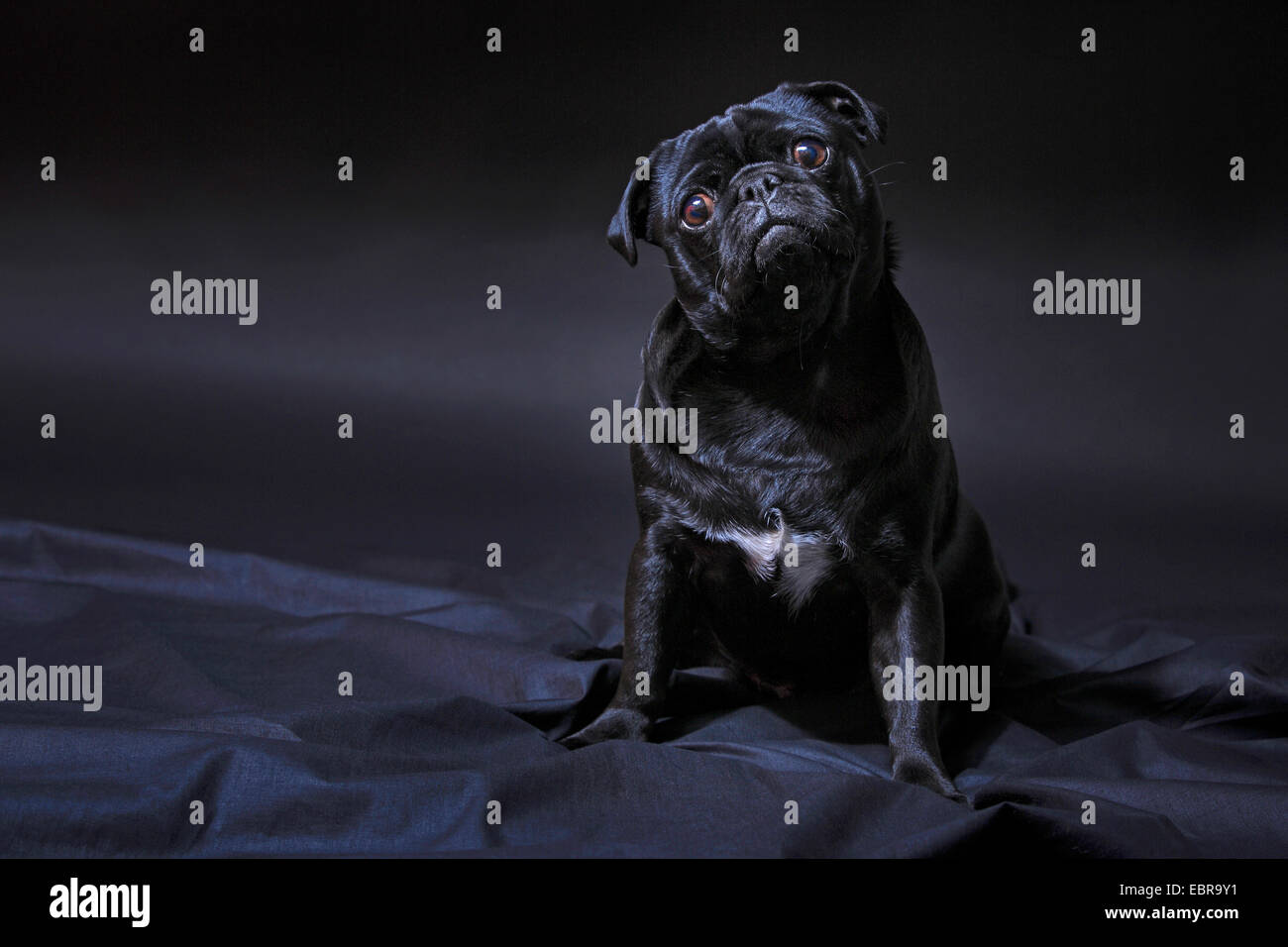 Pug (Canis lupus f. familiaris), black pug sitting on a black blanket and keeping its head tilted - Stock Image