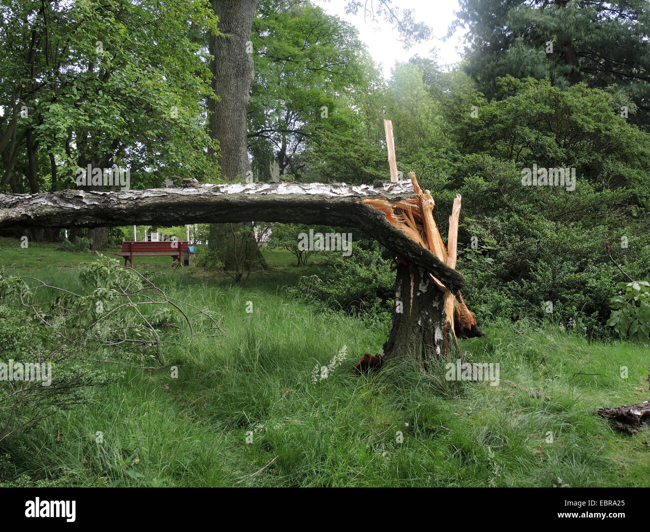 common birch, silver birch, European white birch, white birch (Betula pendula, Betula alba), ravaged city park of - Stock Image