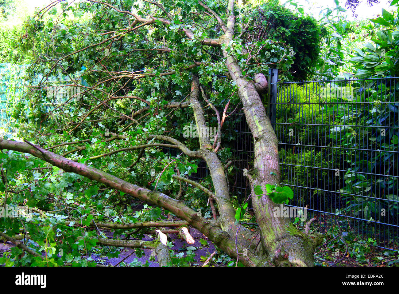 fallen trunk of a maple had demolished an iron fence, storm front Ela at 2014-06-09, Germany, North Rhine-Westphalia, - Stock Image