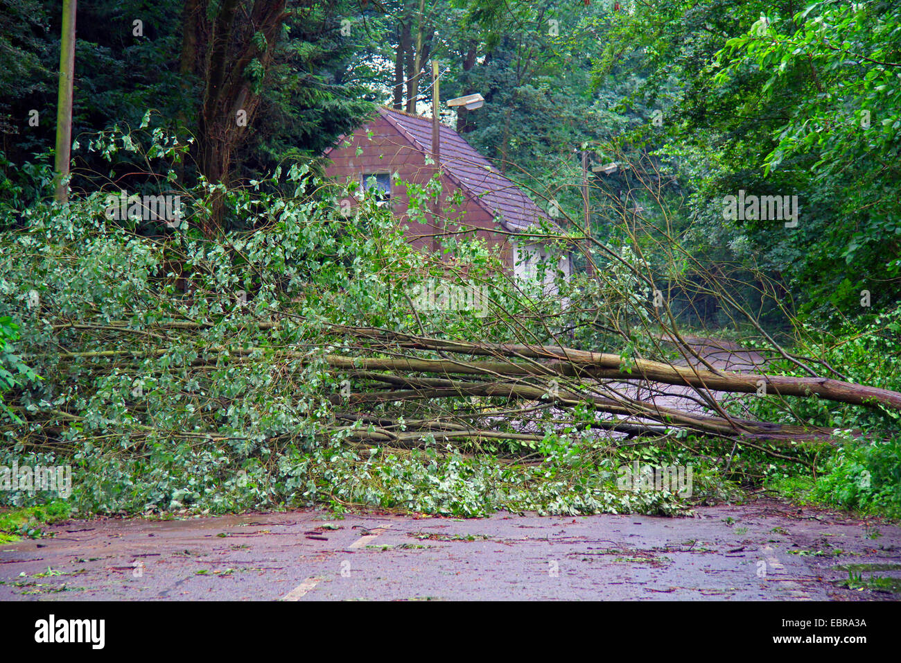 fallen trunk of a willow on a street, storm front Ela at 2014-06-09, Germany, North Rhine-Westphalia, Ruhr Area, - Stock Image
