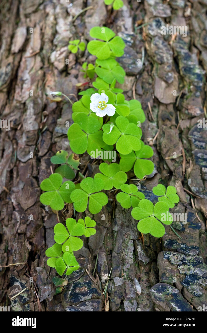 common wood sorrel, wood-sorrel, Irish shamrock (Oxalis acetosella), blooming in the trunk of a pine, Germany, North - Stock Image