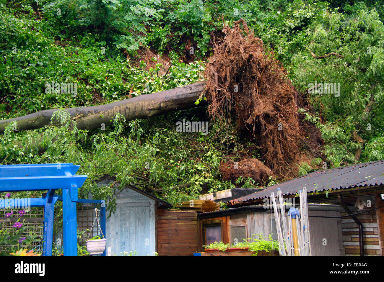 fallen trunk of an sycamore maple demolishing garden huts, storm front Ela at 2014-06-09, Germany, North Rhine-Westphalia, - Stock Image