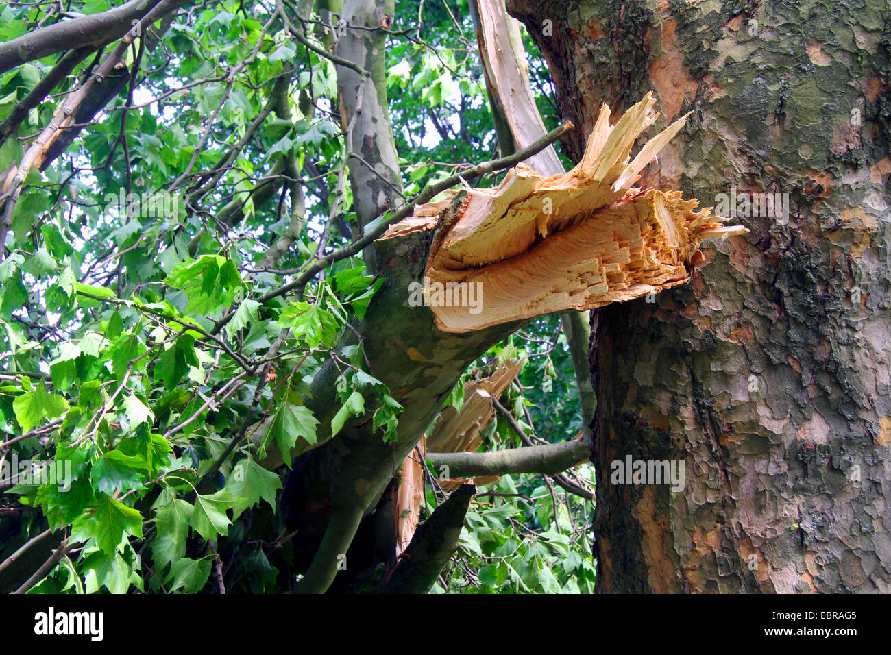 broken branch of a plane after front Ela at 2014-06-09, Germany, North Rhine-Westphalia, Ruhr Area, Essen - Stock Image