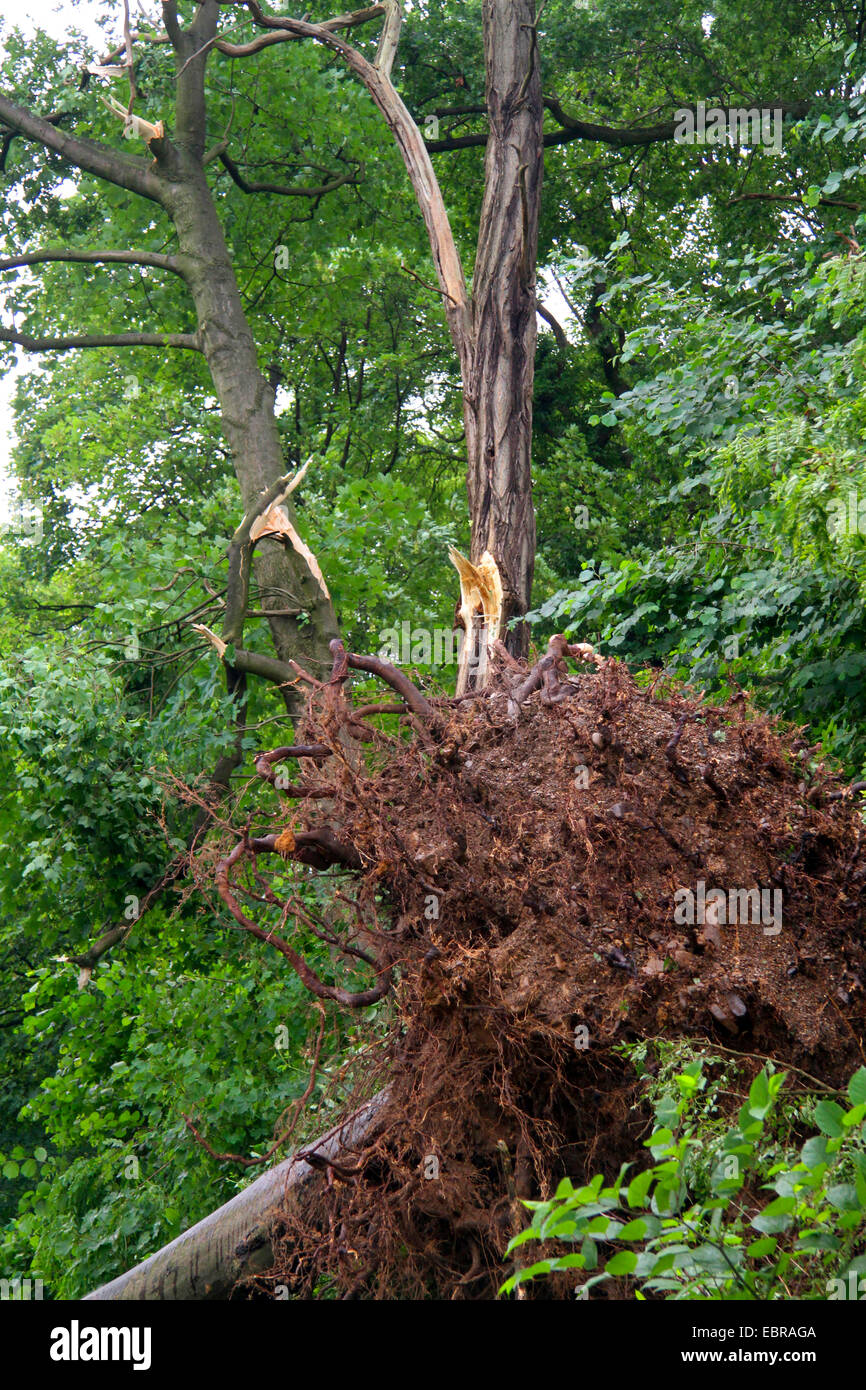 fallen trunk of an sycamore maple in front of a broken Robinia, storm front Ela at 2014-06-09, Germany, North Rhine - Stock Image
