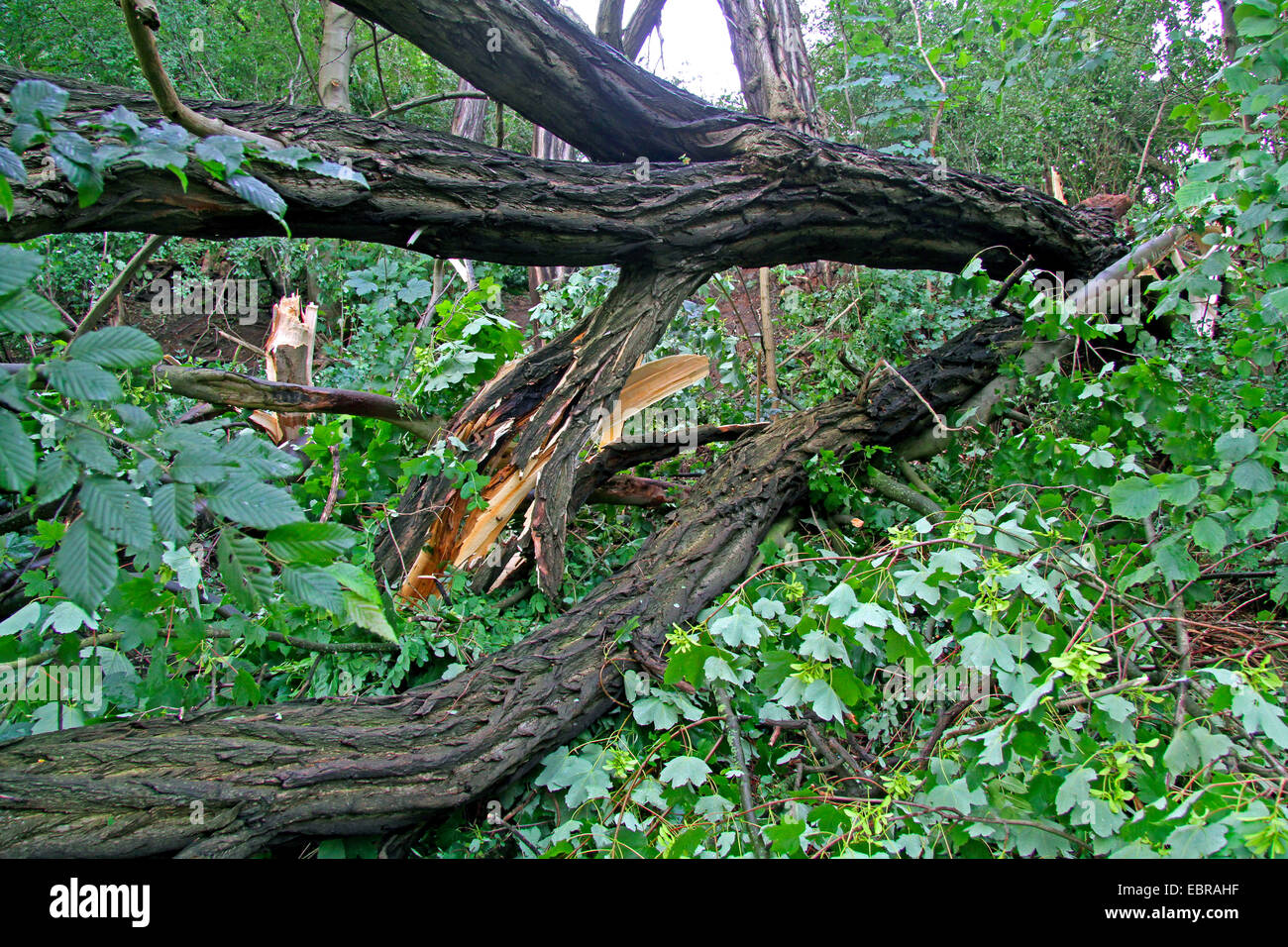 fallen trunk of a robina, storm front Ela at 2014-06-09, Germany, North Rhine-Westphalia, Ruhr Area, Essen - Stock Image