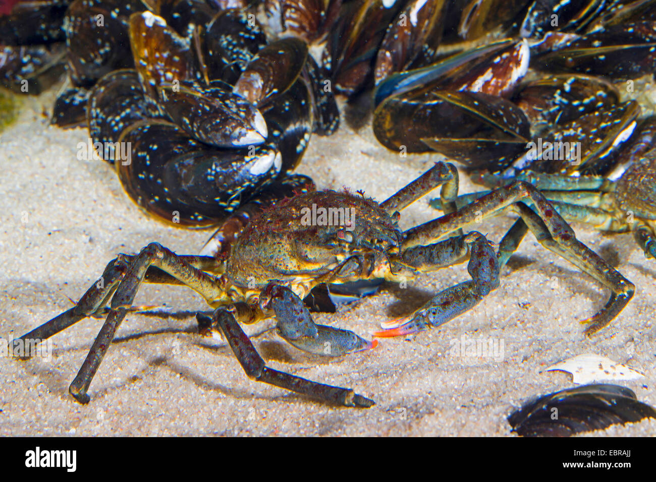 Atlantic lyre crab, great spider crab, toad crab (Hyas araneus), male with mussels - Stock Image