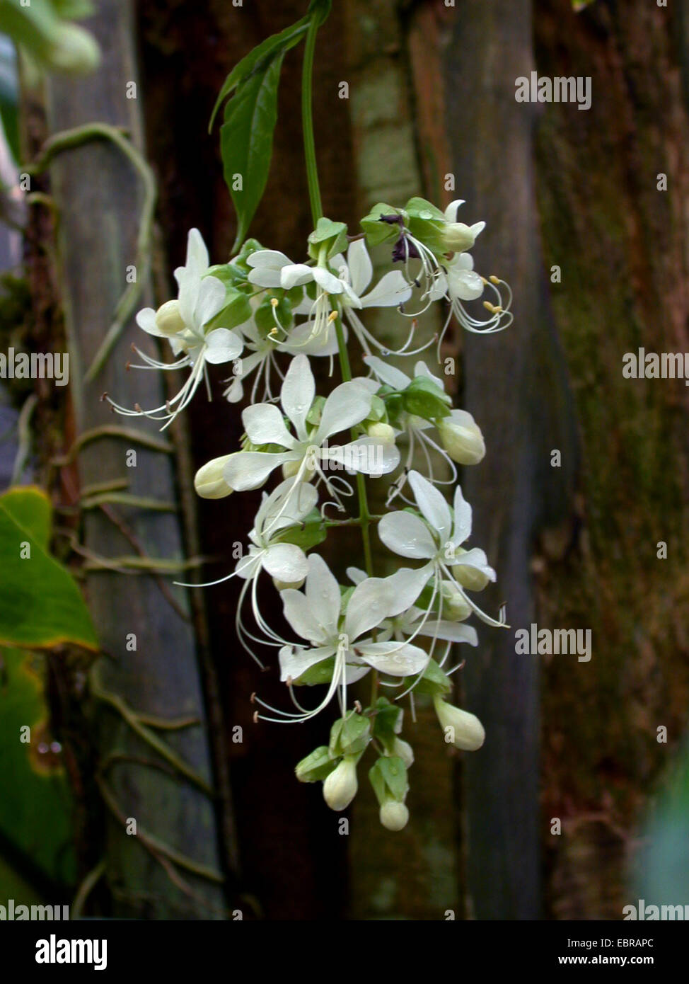 Wallich's glorybower, nodding clerodendrum, Bridal Veil (Clerodendrum wallichii), inflorescence - Stock Image