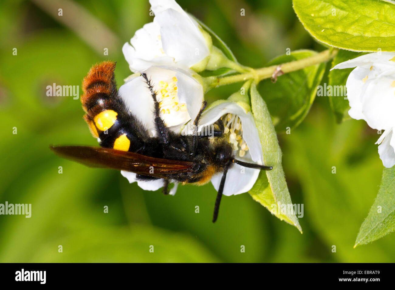 scolid wasp on a white flower, Croatia, Istria - Stock Image
