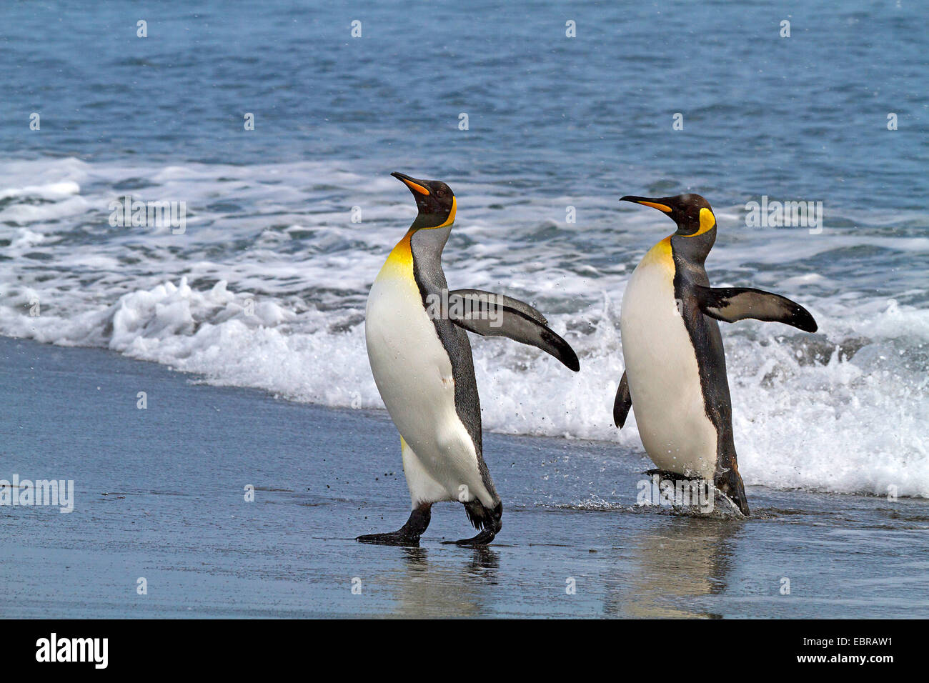 king penguin (Aptenodytes patagonicus), two king penguins going on shore, Antarctica, Suedgeorgien, St. Andrews - Stock Image