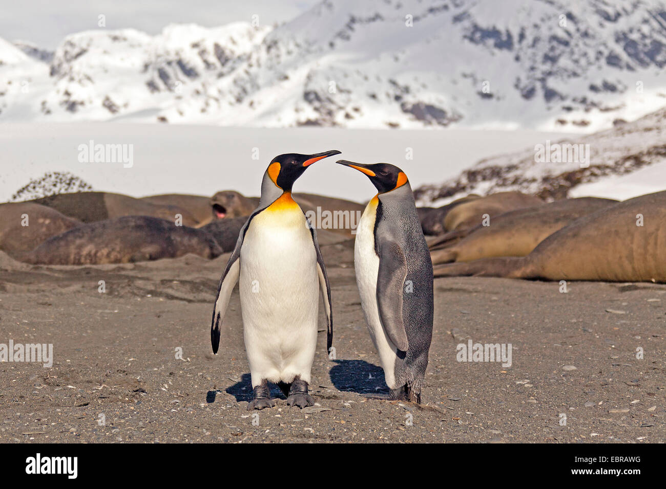 king penguin (Aptenodytes patagonicus), two king penguins on the beach with elephant seals, Antarctica, Suedgeorgien, - Stock Image