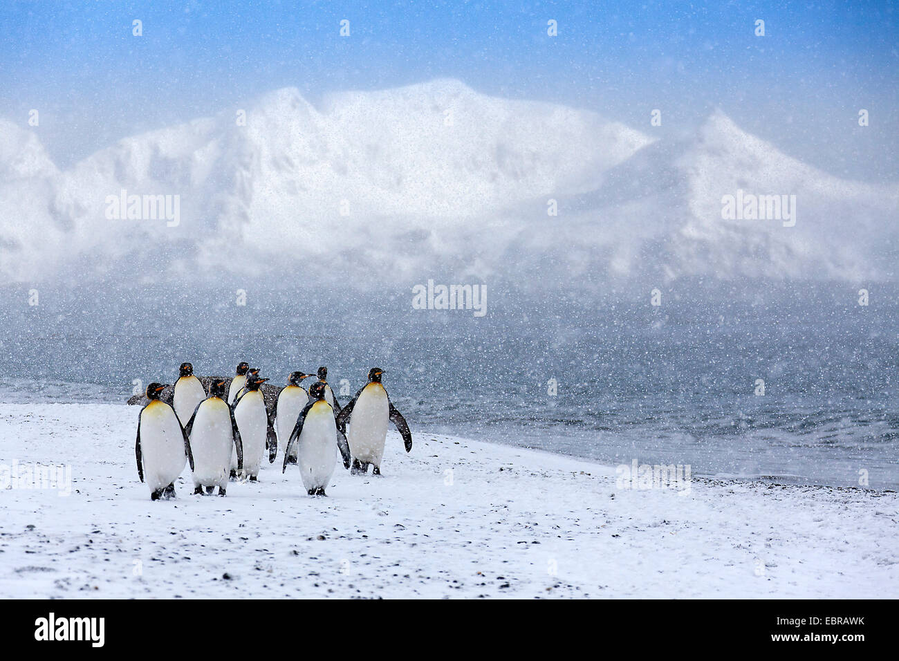 king penguin (Aptenodytes patagonicus), group in heavy snowfall, Antarctica, Suedgeorgien, St. Andrews Bay Stock Photo