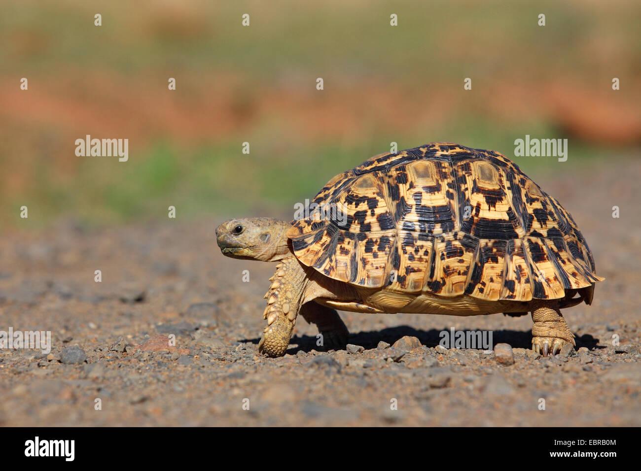 Leopard tortoise (Stigmochelys pardalis, Geochelone pardalis), walking, South Africa, Pilanesberg National Park Stock Photo