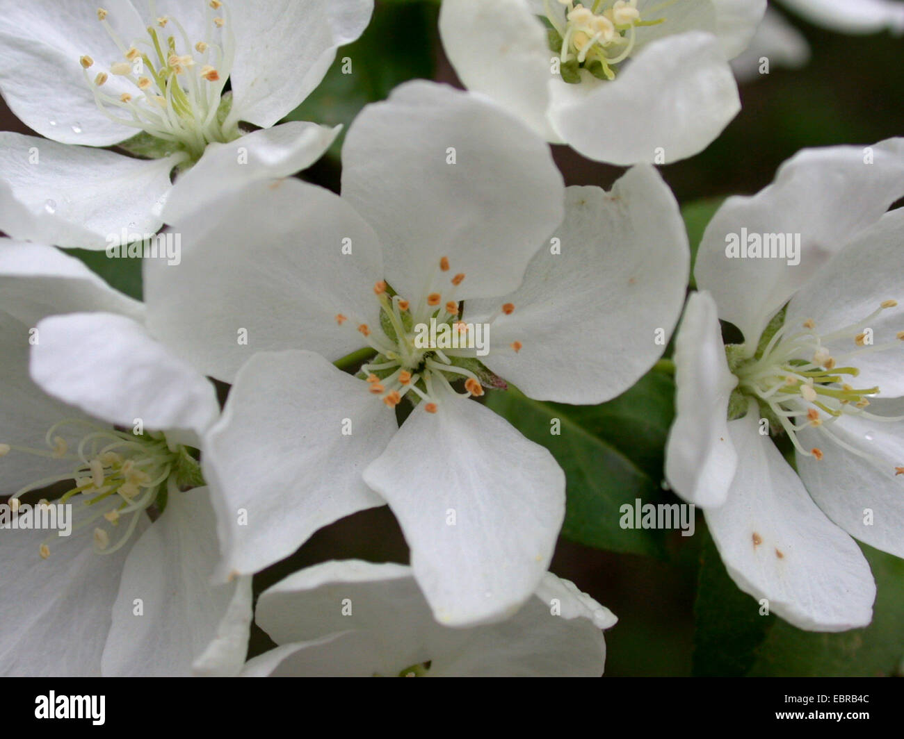 Shrub apple, Nippon Crabapple (Malus brevipes), flowers - Stock Image