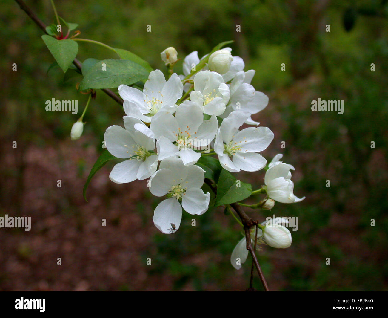 Shrub apple, Nippon Crabapple (Malus brevipes), blooming - Stock Image