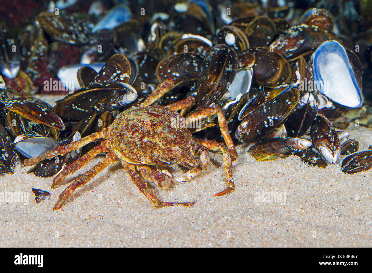 Atlantic lyre crab, great spider crab, toad crab (Hyas araneus), with mussels - Stock Image