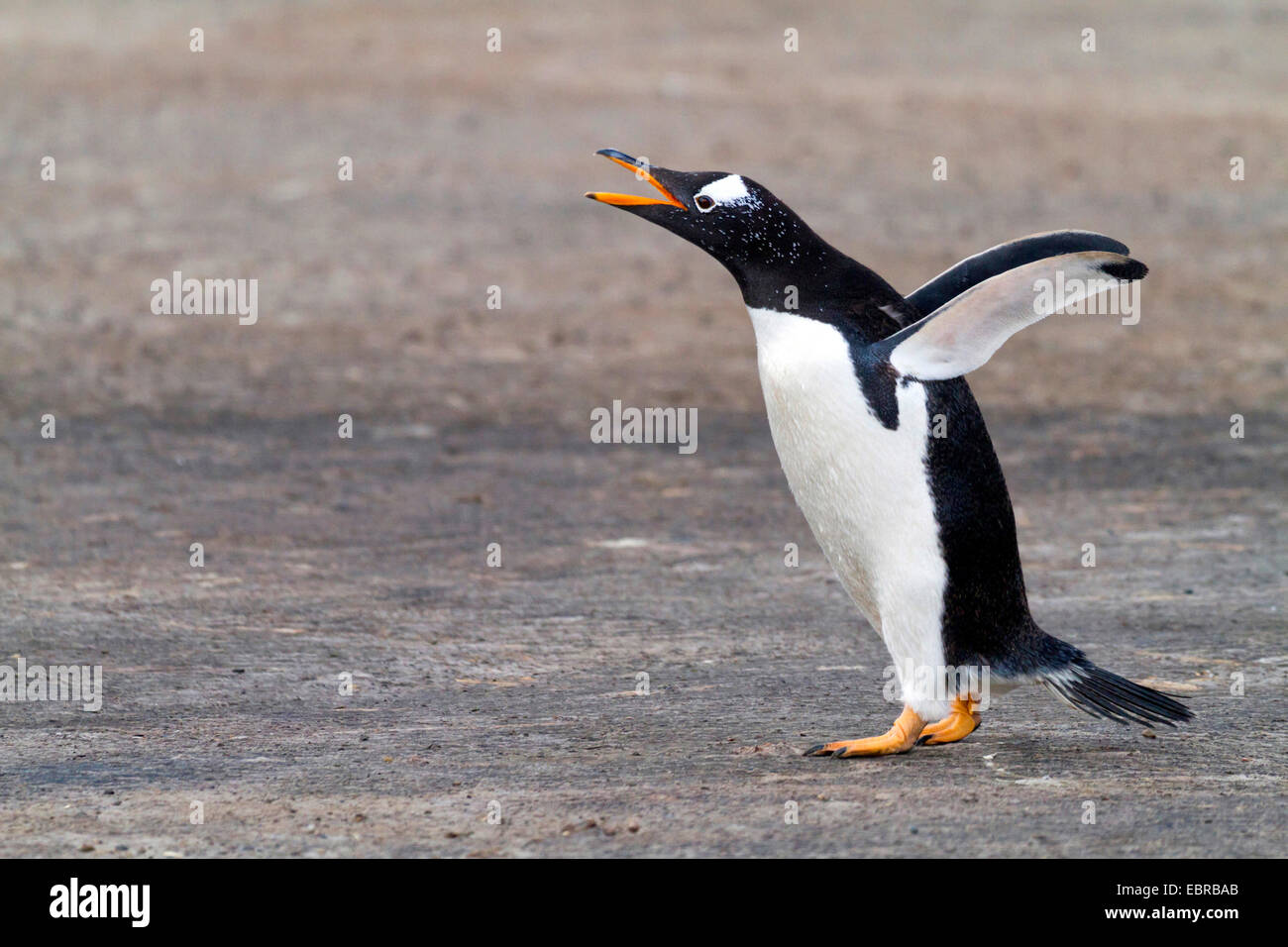 gentoo penguin (Pygoscelis papua), flapping wings and calling, Antarctica, Falkland Islands - Stock Image