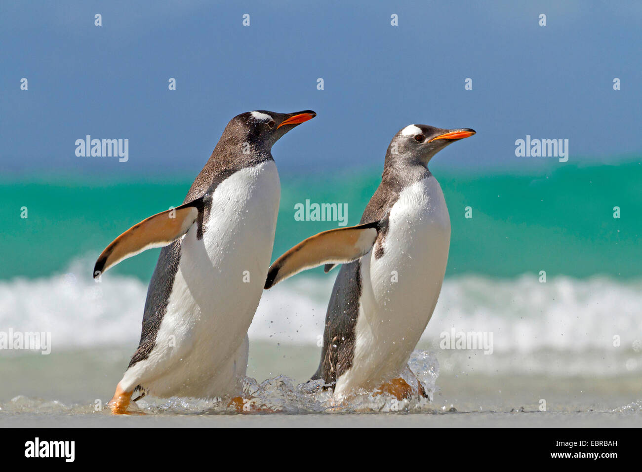 gentoo penguin (Pygoscelis papua), two penguins going on shore, Antarctica, Falkland Islands - Stock Image