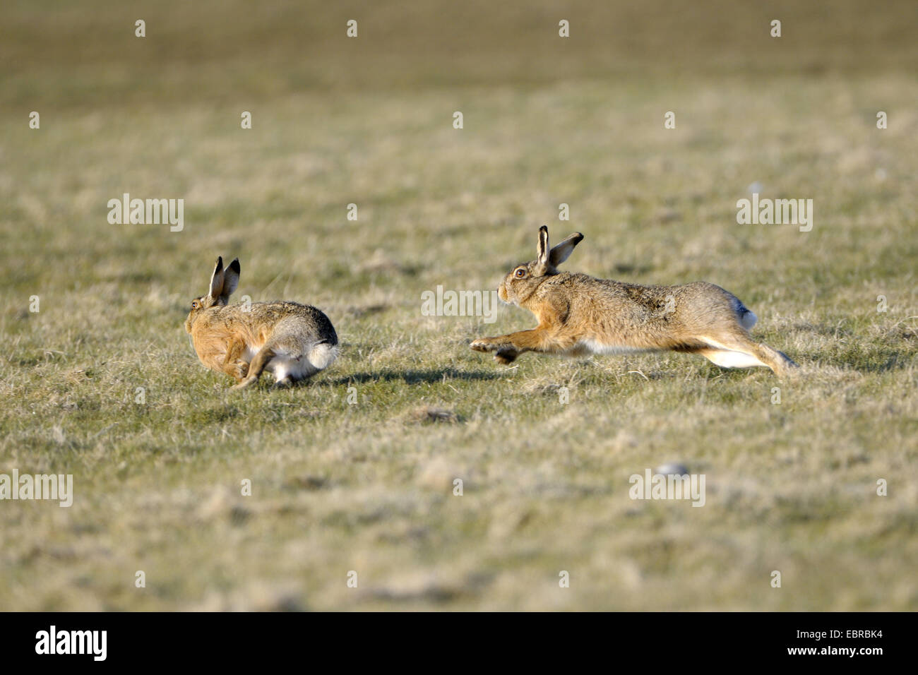 European hare, Brown hare (Lepus europaeus), adult animals chasing each other during the pairing time, Netherlands, - Stock Image