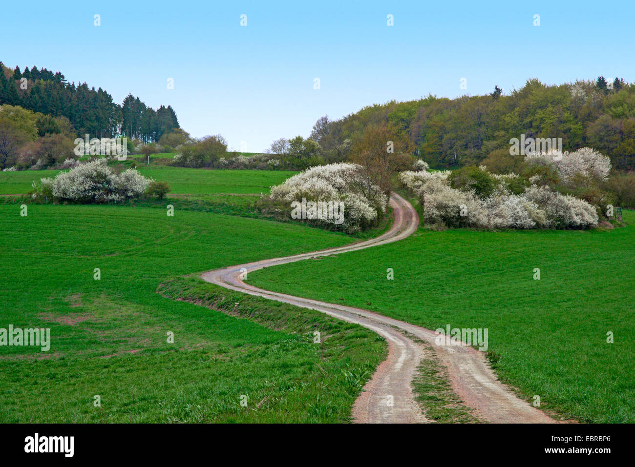 blackthorn, sloe (Prunus spinosa), blooming blackthorns in a meadow landscape with field path, Germany, Rhineland - Stock Image