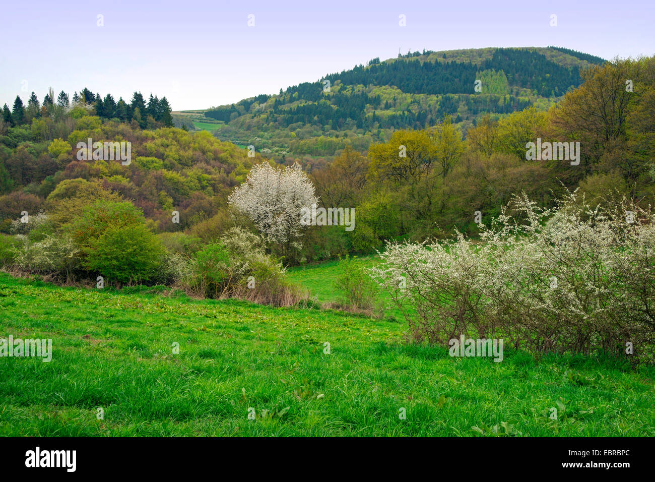 blackthorn, sloe (Prunus spinosa), landscape with blooming blackthorns and cherry trees , Germany, Rhineland-Palatinate, - Stock Image