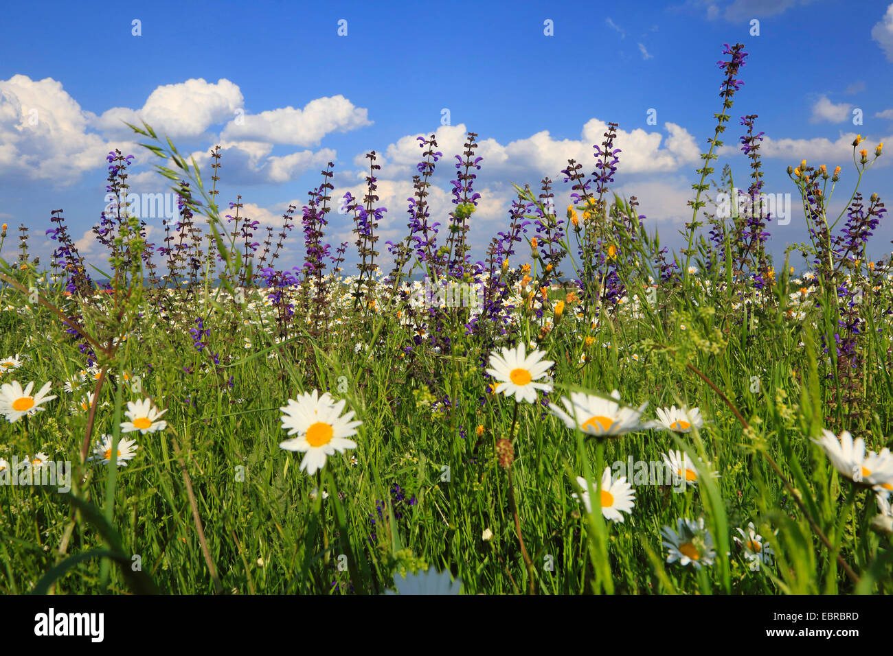 meadow clary, meadow sage (Salvia pratensis), meadoq with oxeye daisies and sage, Germany - Stock Image