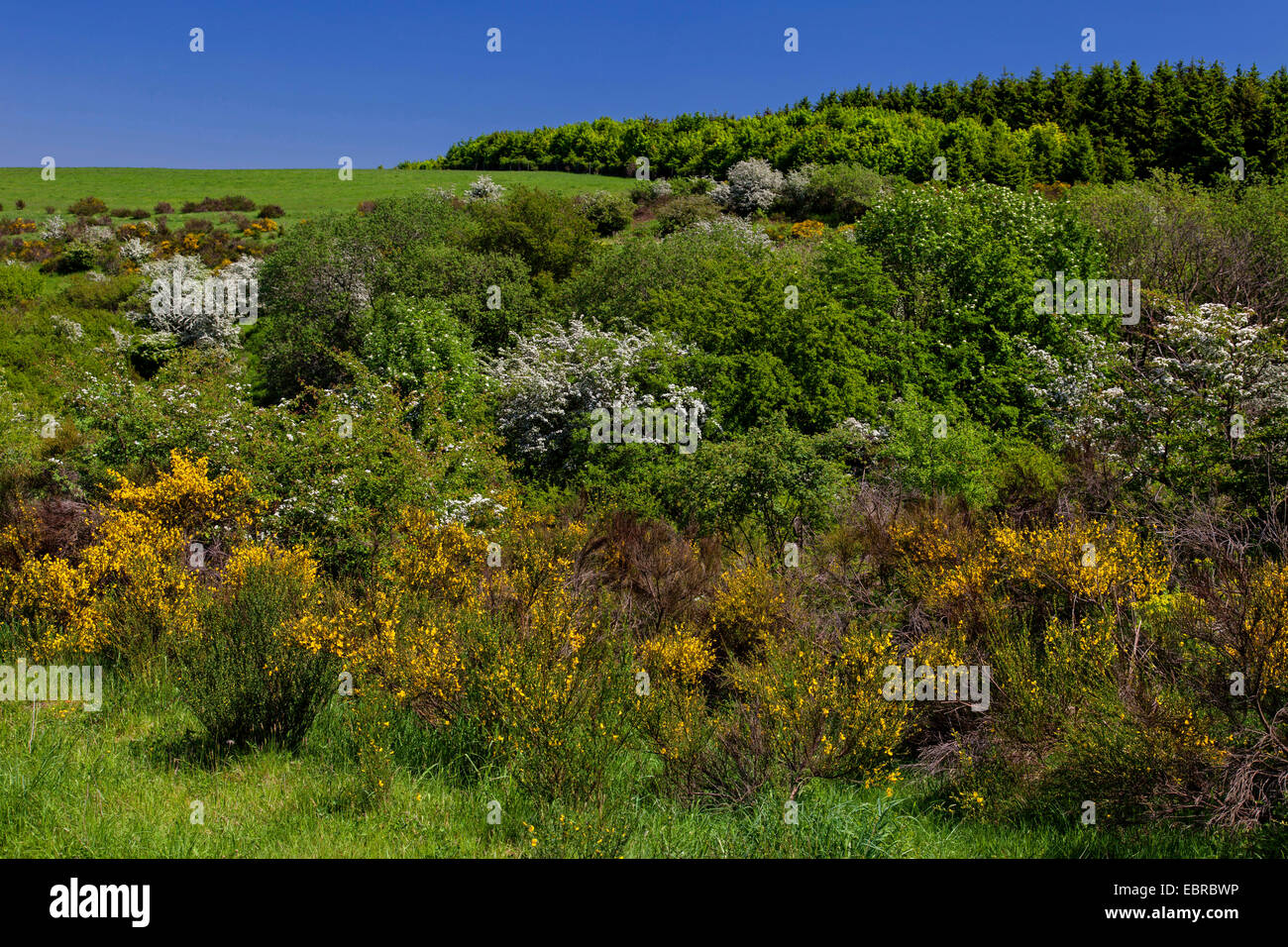 Scotch broom (Cytisus scoparius, Sarothamnus scoparius), blooming scotch brooms and blackthorns on Dreiborn Plateau, - Stock Image