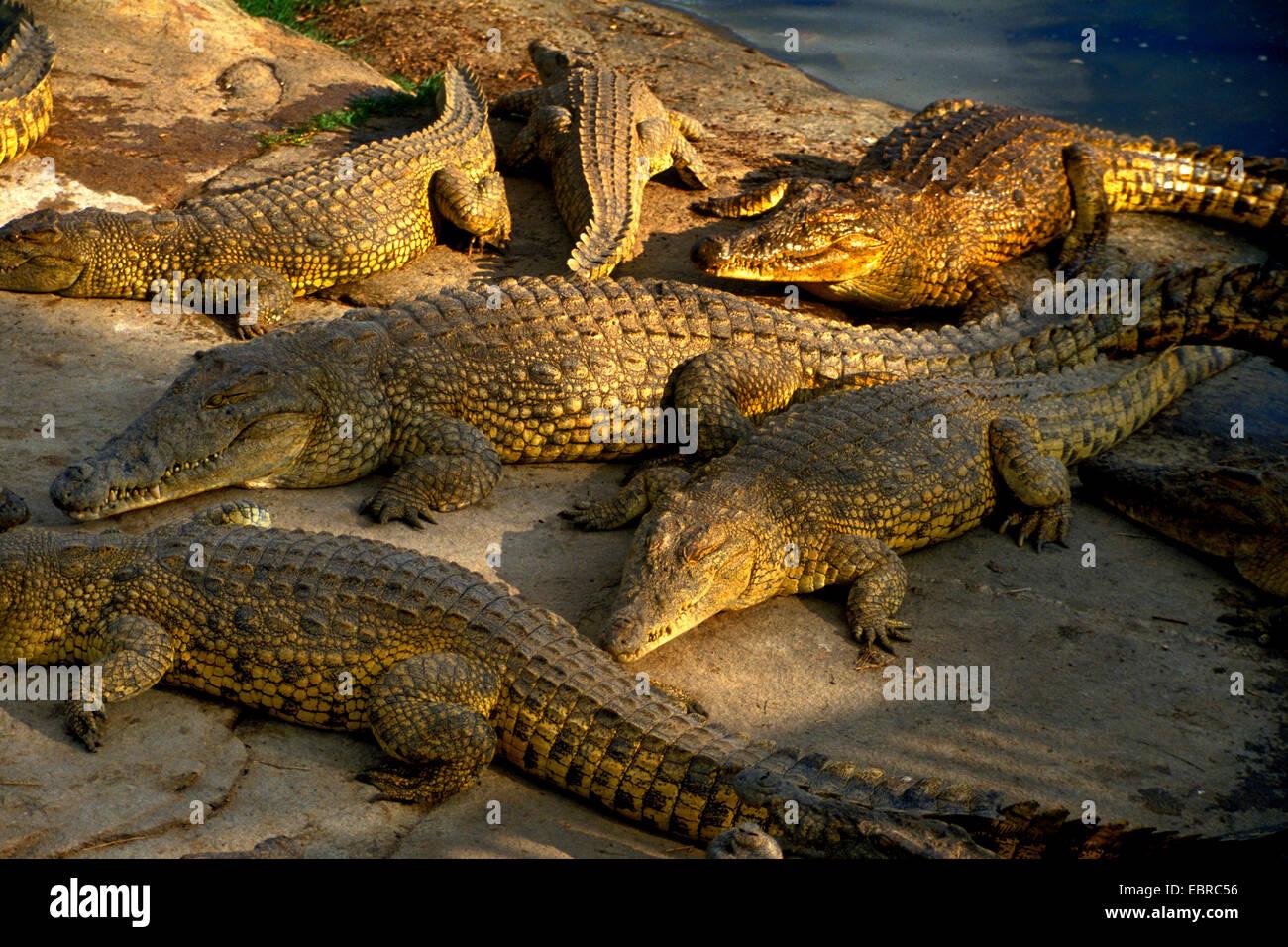 Nile crocodile (Crocodylus niloticus), several Nile crocodiles on the shore, Cote d'Ivoire, Yamoussoukro - Stock Image