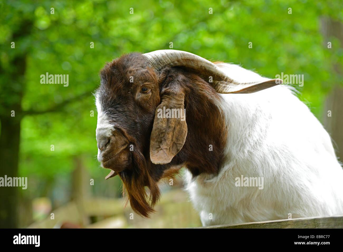 Boer goat (Capra hircus, Capra aegagrus f. hircus), portrait - Stock Image