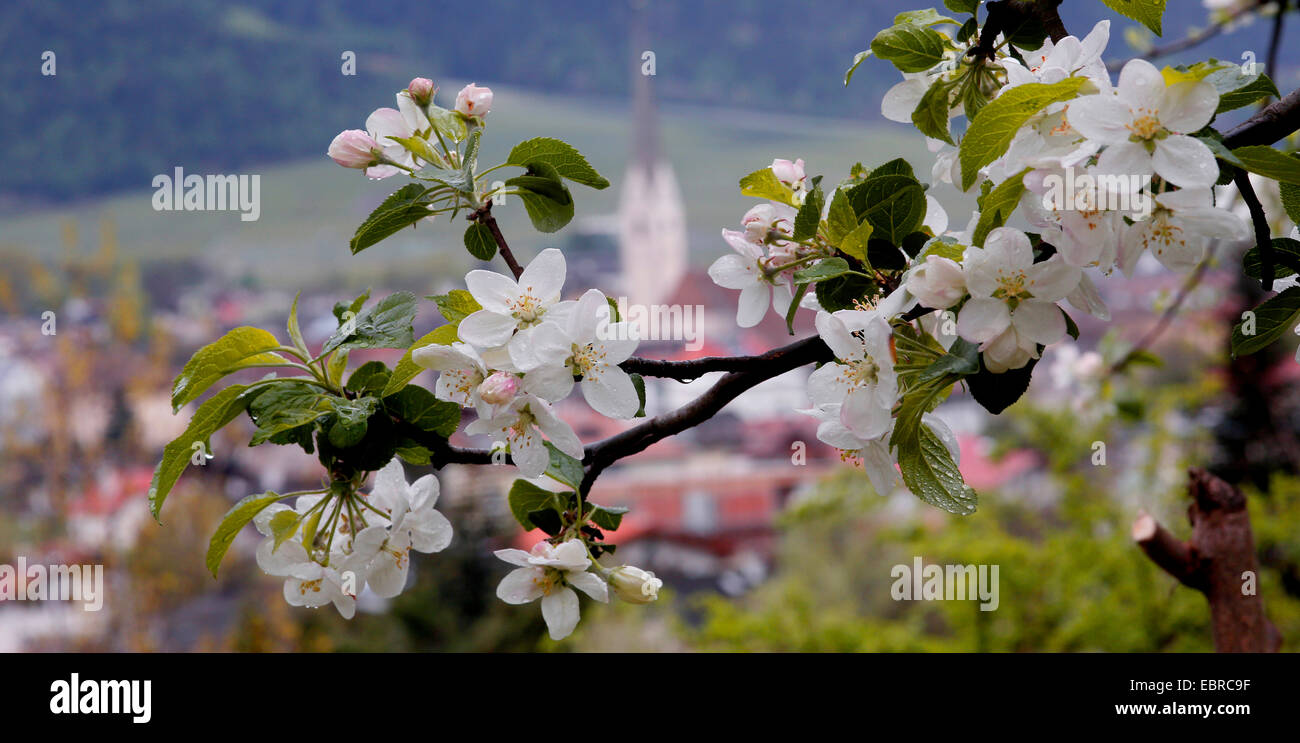 apple tree (Malus domestica), twig of a blooming apple tree, Italy, South Tyrol, Vinschgau Stock Photo