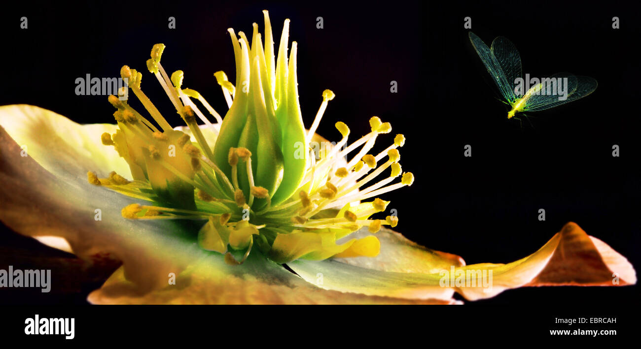black hellebore (Helleborus niger), insect approaching flower, Germany - Stock Image