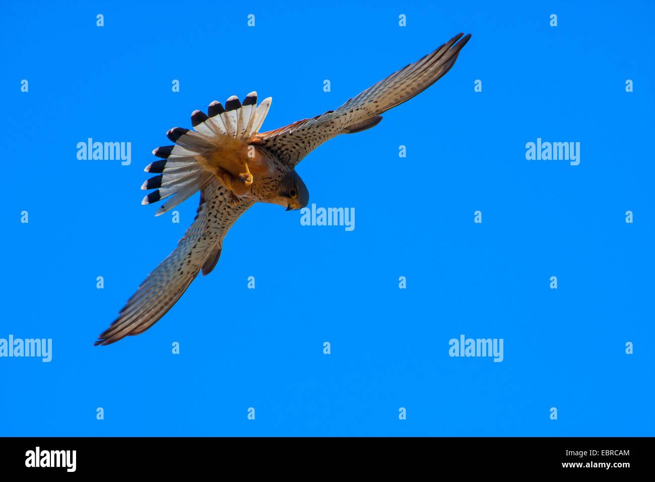 European Kestrel, Eurasian Kestrel, Old World Kestrel, Common Kestrel (Falco tinnunculus), in flight, Switzerland, - Stock Image