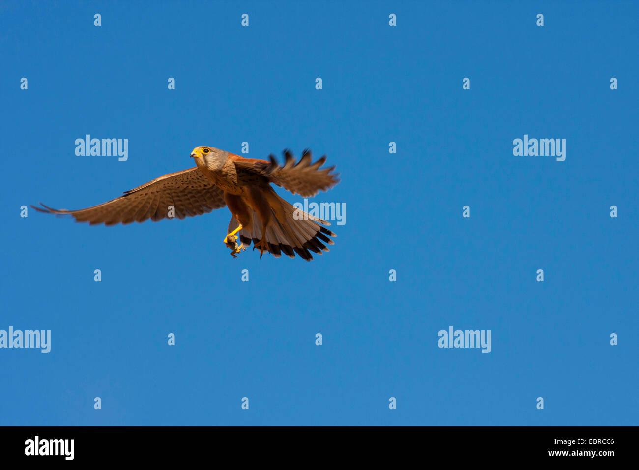 European Kestrel, Eurasian Kestrel, Old World Kestrel, Common Kestrel (Falco tinnunculus), in flight with prey, - Stock Image