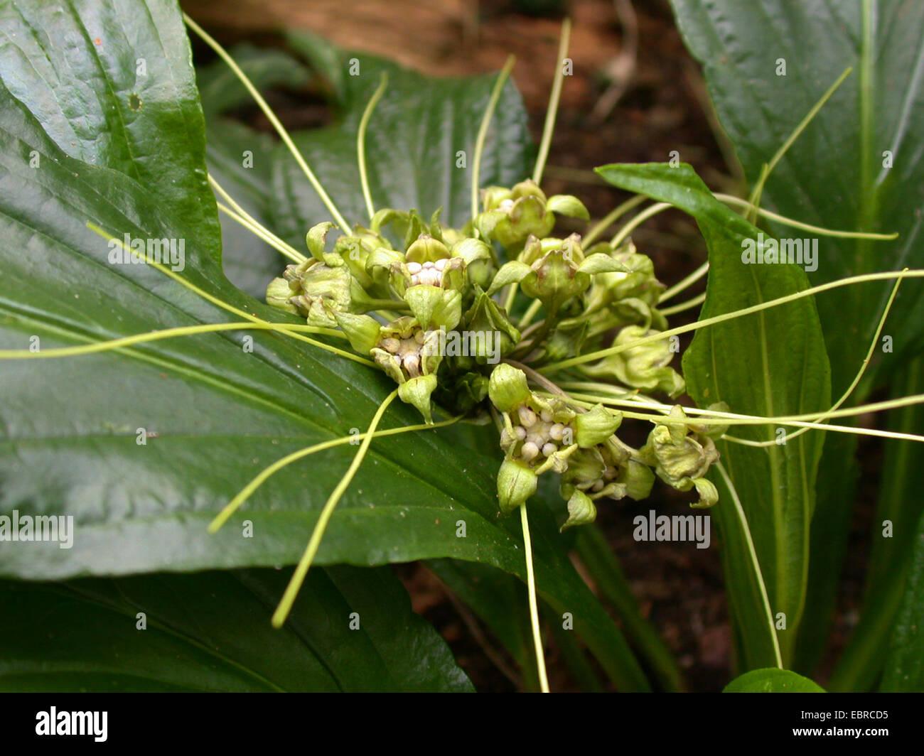 bat plant (Tacca plantaginea), flowers - Stock Image