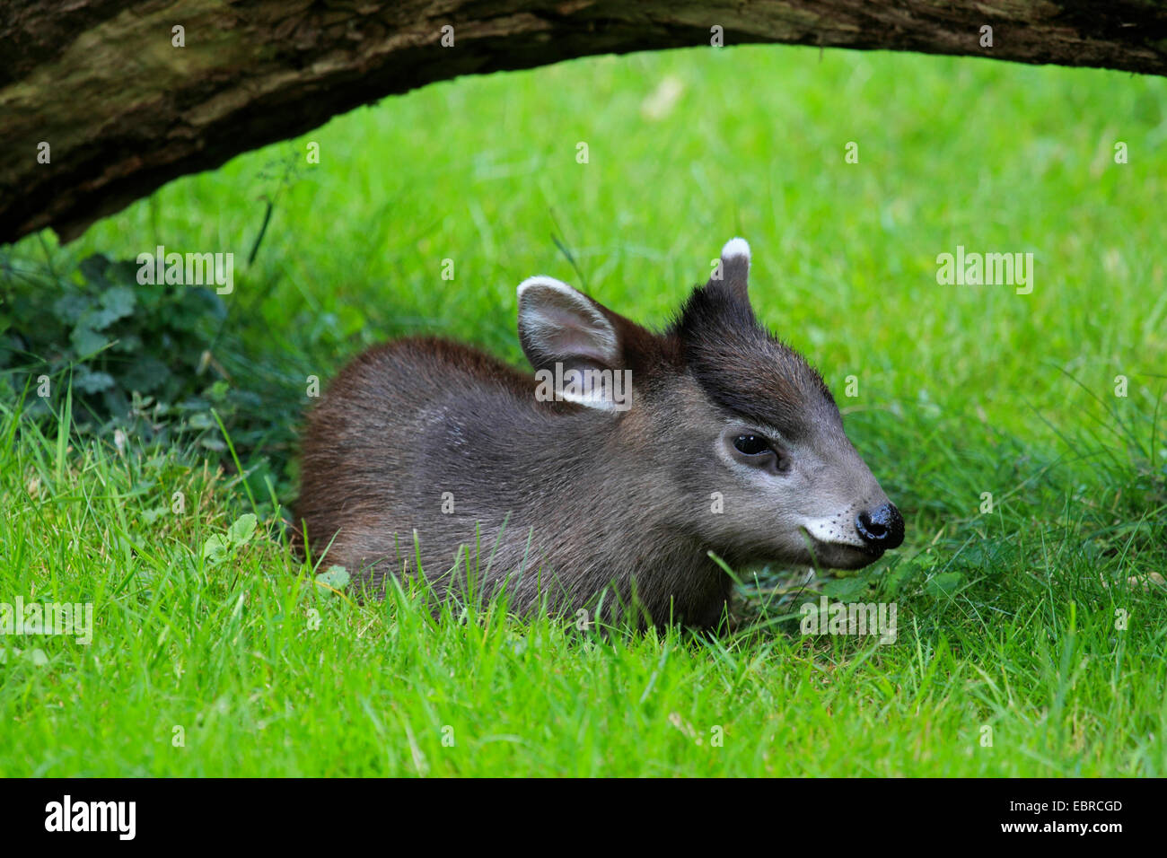 Tufted deer (Elaphodus cephalophus), young animal lying in a meadow in a hollow under a branch Stock Photo