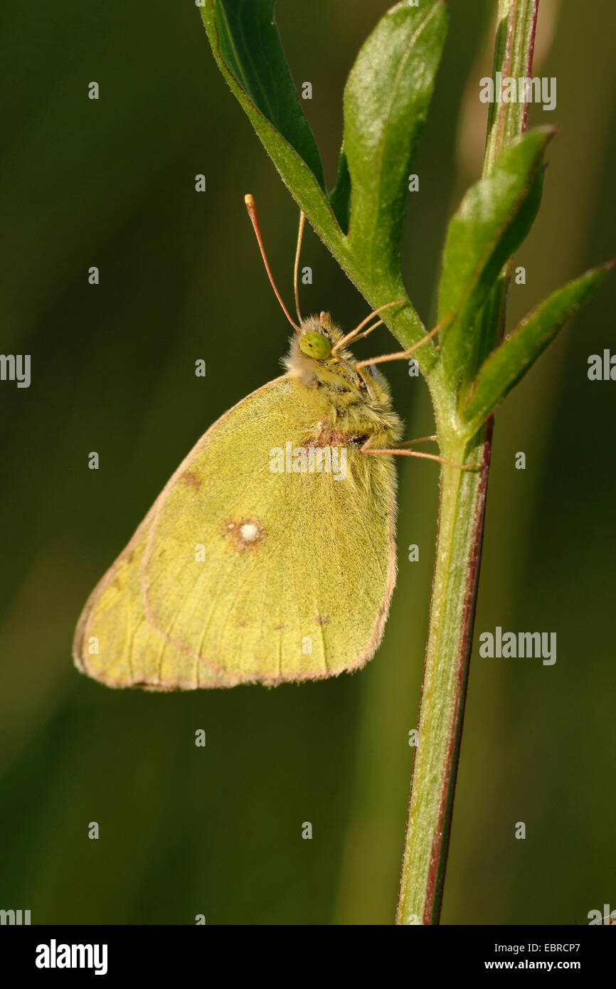 Pale Clouded Yellow (Colias hyale), sitting at a plant, Switzerland, Bernese Oberland - Stock Image