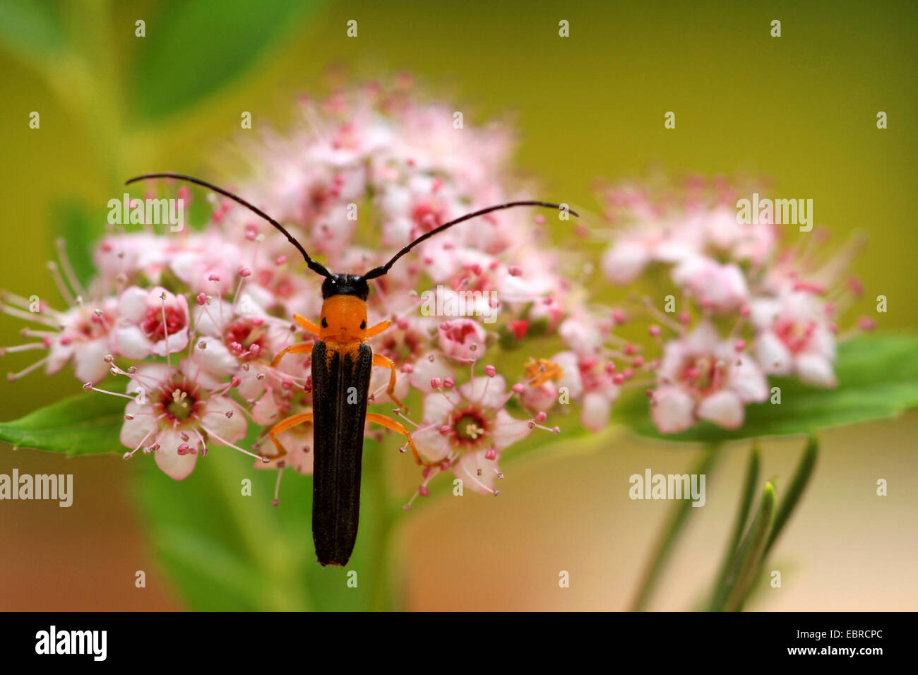 Cane borer (Oberea pupillata), sitting on pink flowers, Russia - Stock Image